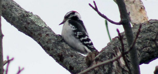 woodpecker-downey-b001