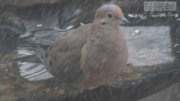 mourning-dove-b002
