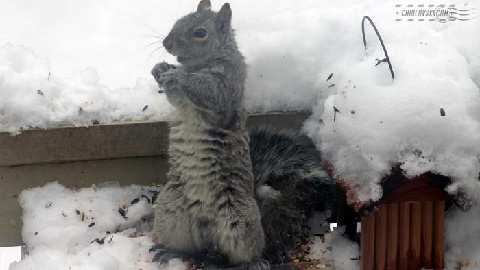 squirrel-b803