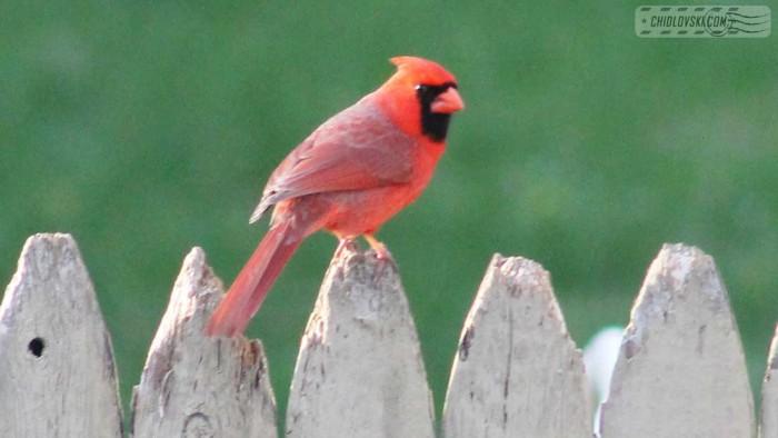 cardinal-b18001
