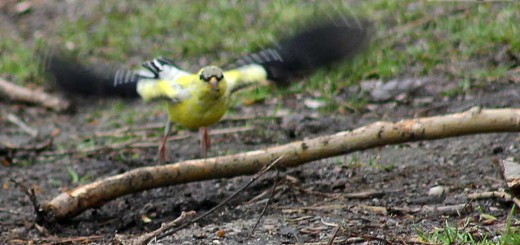 goldfinches-b009