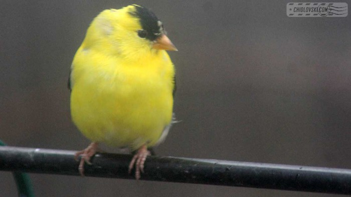 goldfinches-b010