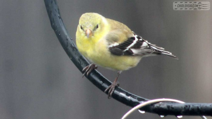 goldfinches-b011