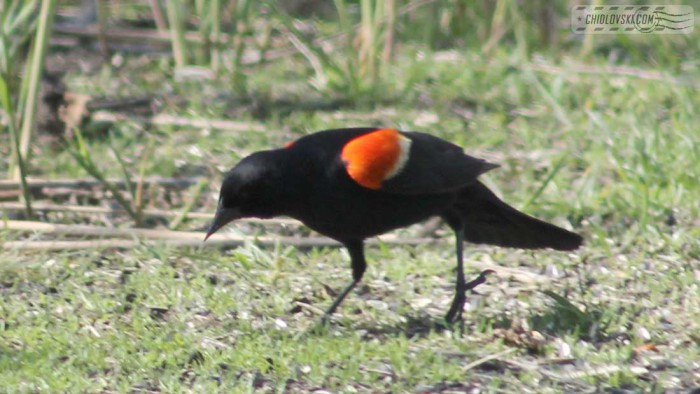red-winged-b002