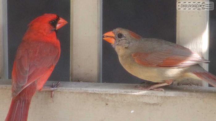 birds-cardinals-001