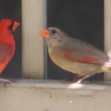 birds-cardinals-002