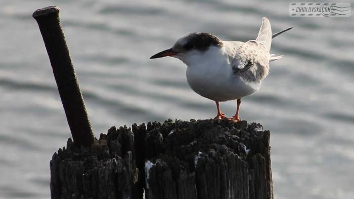common-tern-b001