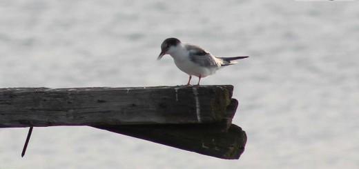 common-tern-b002
