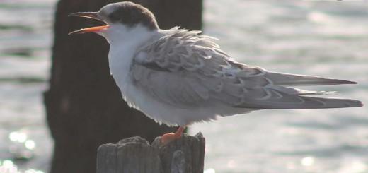 common-tern-b003