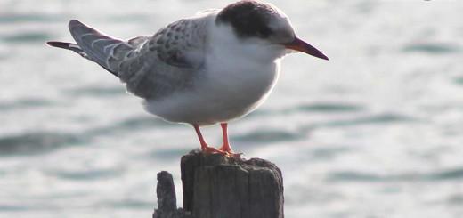 common-tern-b004