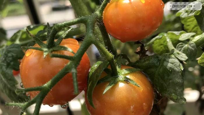 tomatoes-4-kim